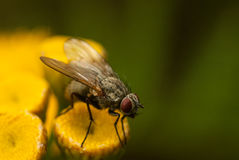 Fly on a flower Stock Image