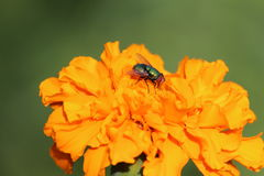Fly on a flower. Fly while sitting on a bright yellow flower Stock Image
