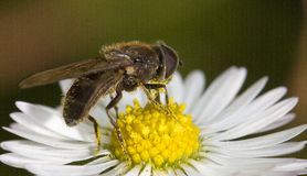 Fly on flower. A fly sitting on a daisy flower Stock Photography