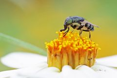 Fly on the flower. A fly is staying on the daisy flower Royalty Free Stock Photos