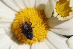 Fly and flower Stock Photos