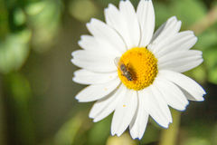 Fly on flower. A fly on a white and yellow flower Stock Photos