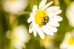 Fly on flower. A fly on a white and yellow flower Royalty Free Stock Photography