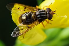 Fly on flower. Fly on yellow flower petals. Blurred natural background Stock Photography