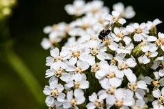 Fly on flowers Royalty Free Stock Photos