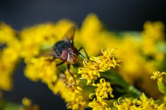 The Fly. A Fly crawling on some yellow wildflowers Stock Image