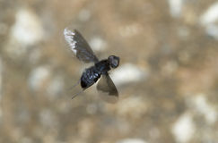 A fly flying. Royalty Free Stock Images