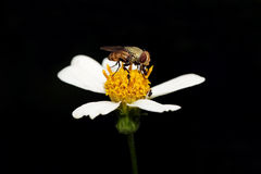 Fly foraging. On the flower Royalty Free Stock Image