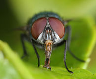 Fly frontal close-up Royalty Free Stock Images