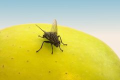 Fly and fruit Stock Photos