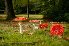 Fly fungus Amanita muscaria, autumn, close-up Stock Photos