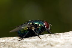Fly. In the garden.  basking in the sun Royalty Free Stock Photography