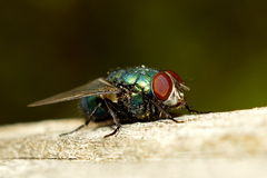 Fly. In the garden.  basking in the sun Royalty Free Stock Photo