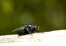 Fly. In the garden.  basking in the sun Stock Photography