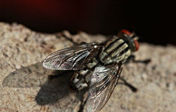 A fly glistens in the sun in Chiang Rai, Thailand Royalty Free Stock Photo