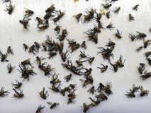 Fly glue trap. Dead flies trapped on a glue trap. Fly glue trap. Dead flies trapped on a glue trap stock photos