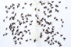 Fly glue trap. Dead flies trapped on a glue trap. stock photo