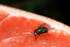 Fly on grapefruit. A fly feeding on a fresh grapefruit. great detail, visible feeding Royalty Free Stock Images