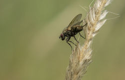 Fly on a gras ear Royalty Free Stock Photography