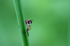 Fly on grass Stock Photography