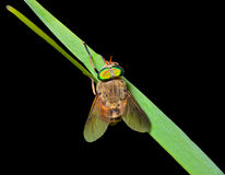 Fly on grass-blade 4 Stock Images