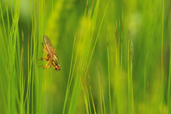 Fly in the grasses (Tachina fera) Stock Photo