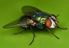 Fly on green Royalty Free Stock Image