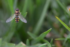 Fly on green grass Royalty Free Stock Images