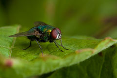 Fly on green leaf Royalty Free Stock Photo