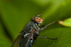 Fly on green leaf Stock Images