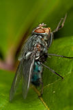 Fly on green leaf Stock Photo