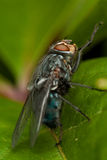 Fly on green leaf. In nature close up Royalty Free Stock Image