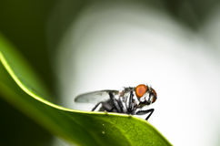 Fly on green leaf Royalty Free Stock Images