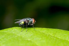 Fly and green leaf Stock Images