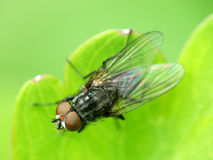Fly on green leaf. Macro view of fly on green leaf Stock Photography