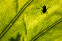 Fly. On a green leaf Stock Image