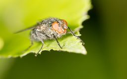 Fly on a green leaf. close. In the park in nature Stock Images