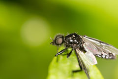 Fly on a green leaf. close. A photo Stock Photos