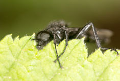 Fly on a green leaf. close. A photo Royalty Free Stock Photos