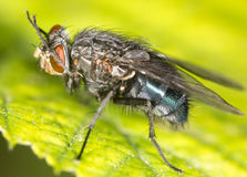 Fly on a green leaf. close. A photo Stock Images