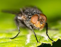Fly on a green leaf. close. A photo Stock Photography