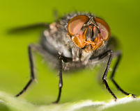 Fly on a green leaf. close Stock Images