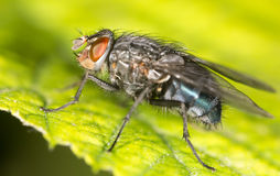 Fly on a green leaf. close Stock Image