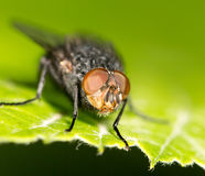 Fly on a green leaf. close Stock Photos