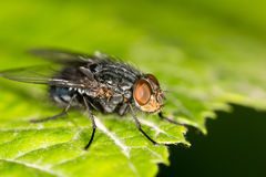 Fly on a green leaf. close Royalty Free Stock Photo