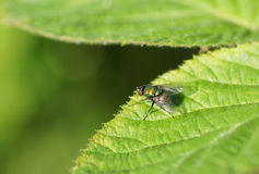 Fly on green leaf. Stock Photography