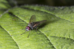 Fly on Green Leaf Royalty Free Stock Photos