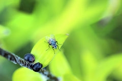 Fly on a green leaf. Fy on a leaf against a green background Royalty Free Stock Images