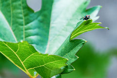Fly on green leaf Stock Photography
