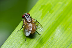 Fly on green leaf macro Stock Images